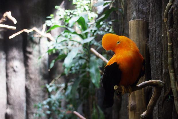 アンデスイワドリ(鳥)00101