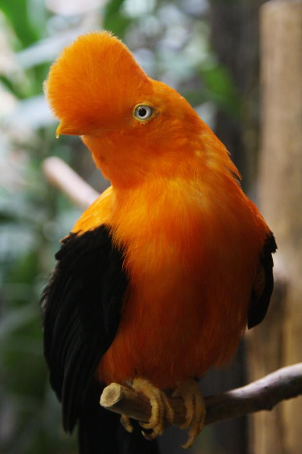 アンデスイワドリ(鳥)009