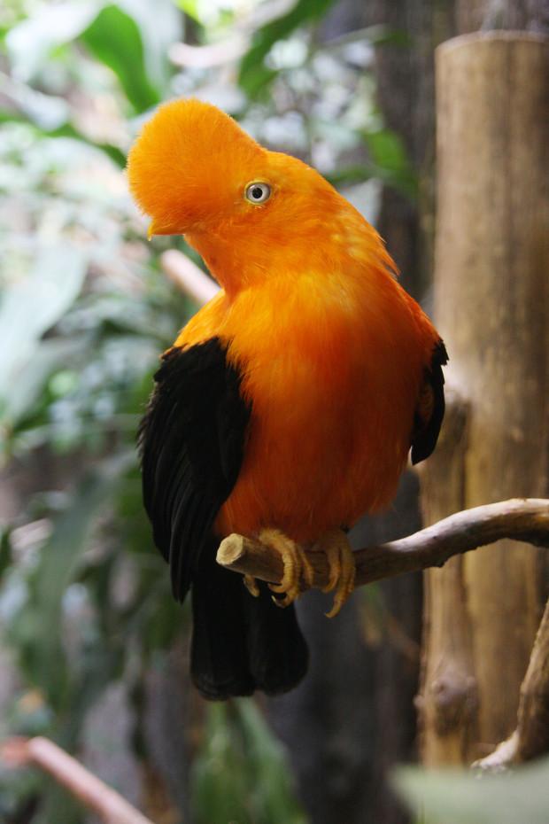 アンデスイワドリ(鳥)010