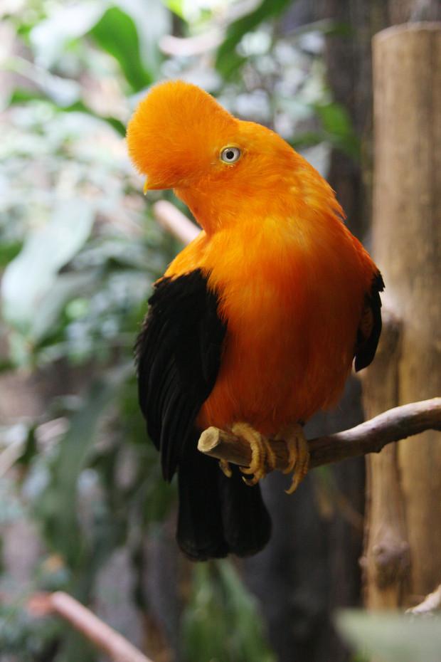 アンデスイワドリ(鳥)011