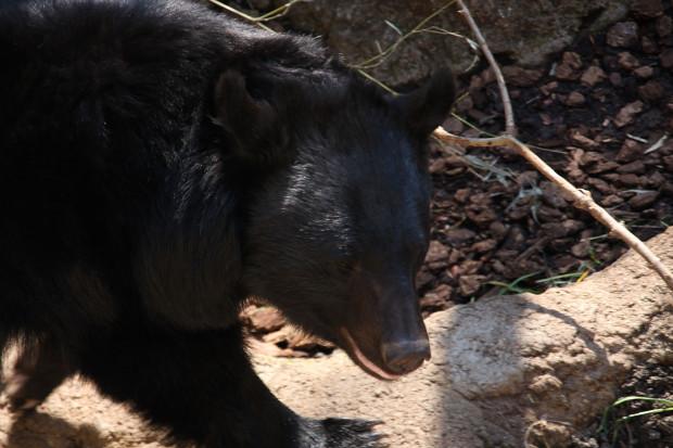 熊(クマ)フリー写真素材003