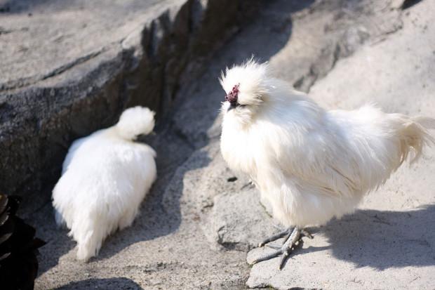 鶏(ニワトリ、にわとり)001