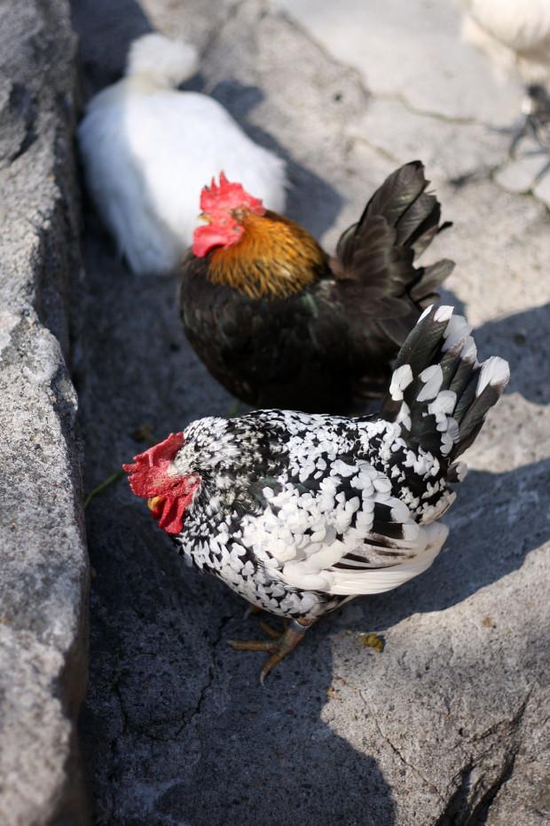 鶏(ニワトリ、にわとり)002