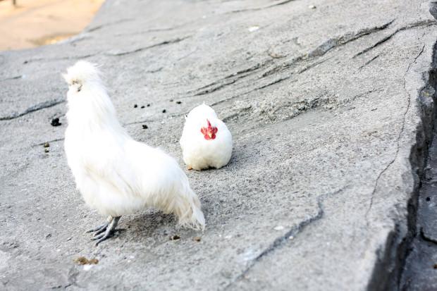 鶏(ニワトリ、にわとり)010