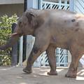 ぞう(ゾウ、象)サムネイル