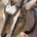 ヤギ(山羊、やぎ)サムネイル