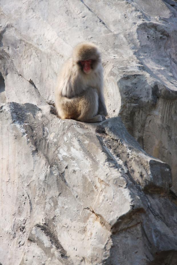 猿(日本猿)002