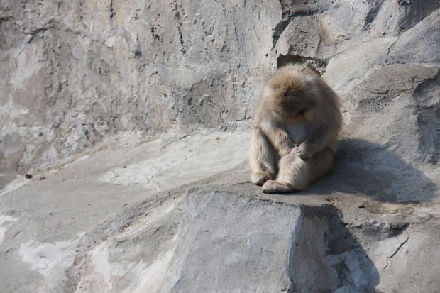 猿(日本猿)003