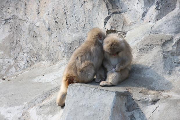猿(日本猿)004