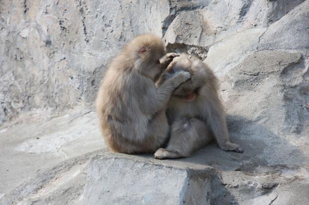 猿(日本猿)006