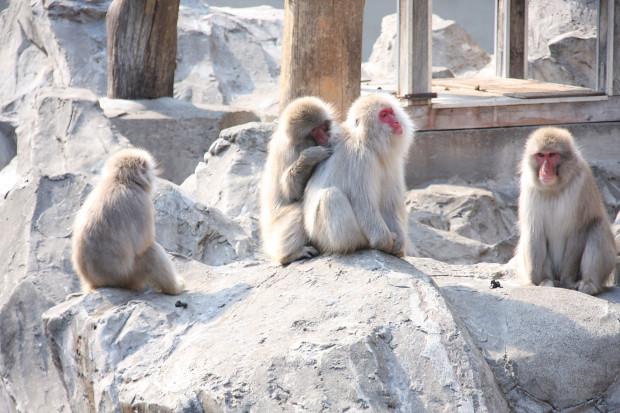 猿(日本猿)009