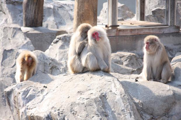 猿(日本猿)010