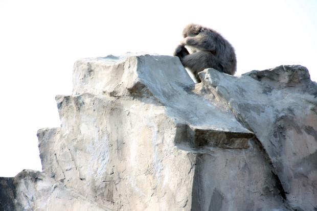 猿(日本猿)013