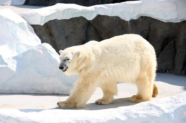 北極熊(白熊)001