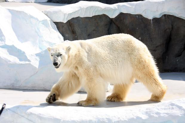 北極熊(白熊)002