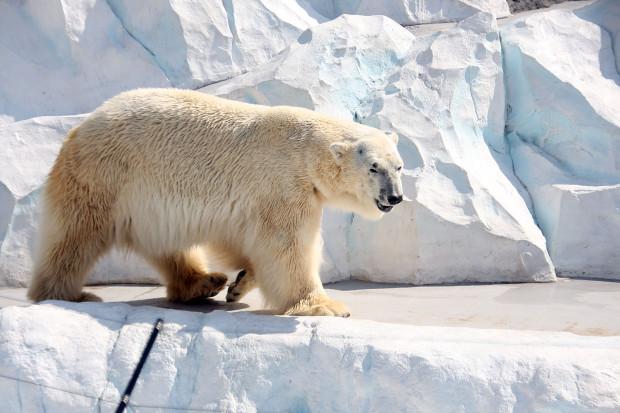北極熊(白熊)003