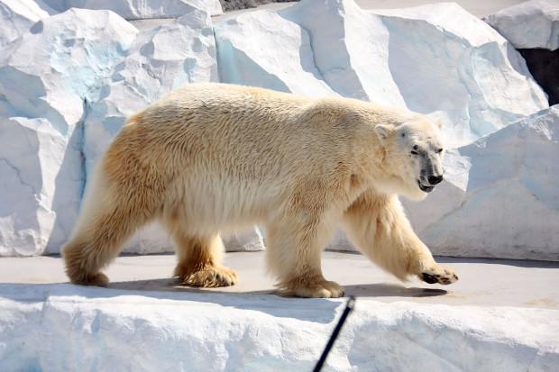 北極熊(白熊)004