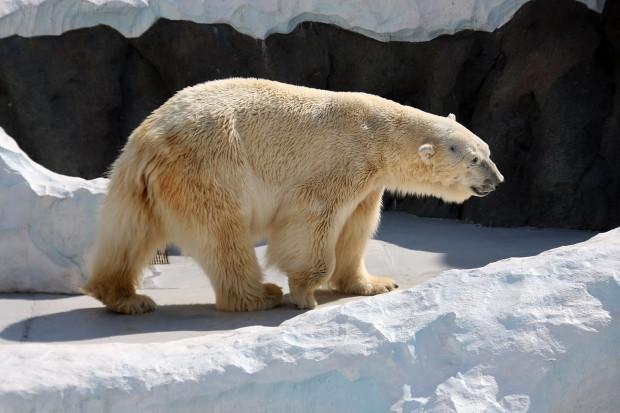北極熊(白熊)005