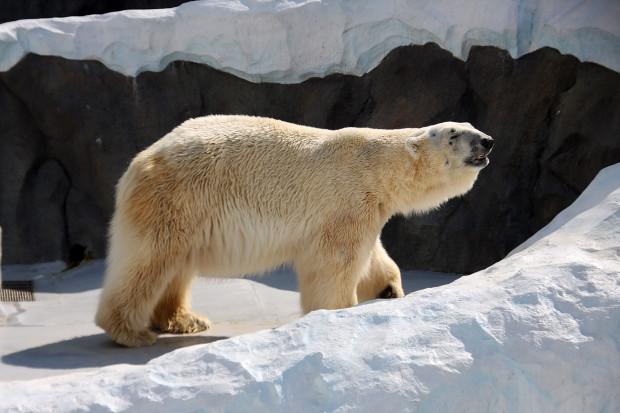 北極熊(白熊)006