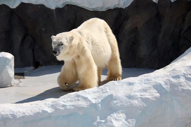 北極熊(白熊)007