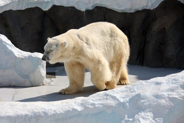 北極熊(白熊)008