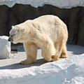 北極熊(白熊)サムネイル