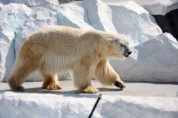 北極熊(白熊)010