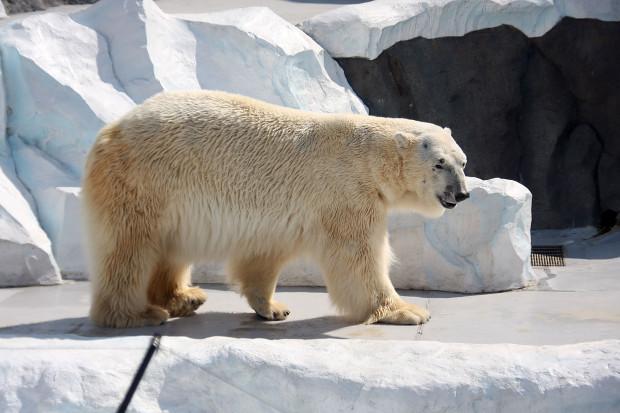北極熊(白熊)011