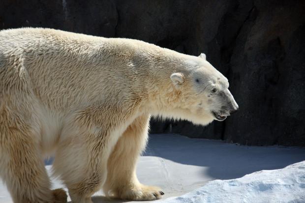 北極熊(白熊)012