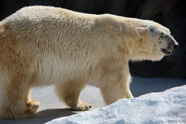北極熊(白熊)013