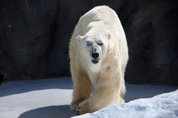 北極熊(白熊)016