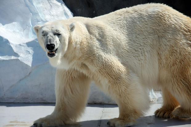 北極熊(白熊)018