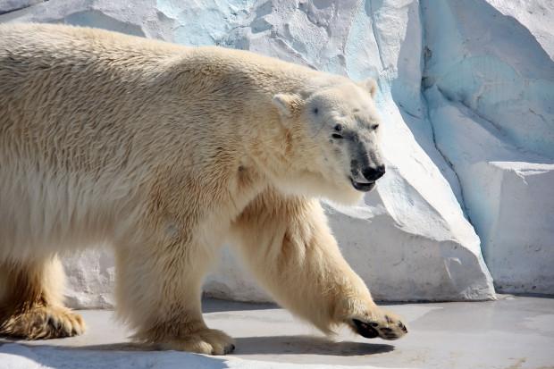 北極熊(白熊)019