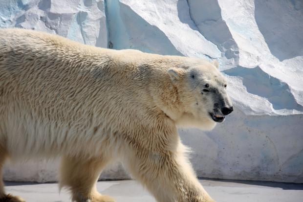 北極熊(白熊)020