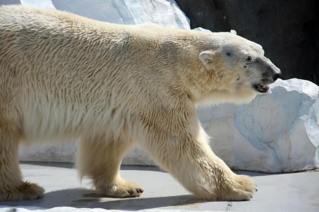 北極熊(白熊)021