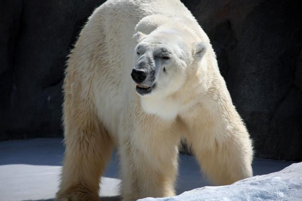 北極熊(白熊)022