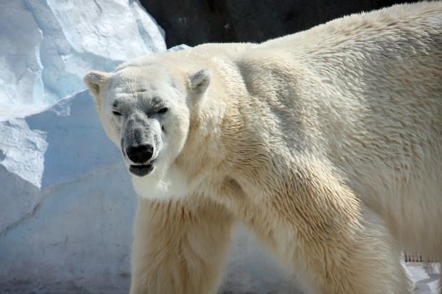 北極熊(白熊)023