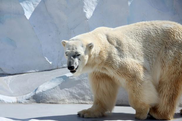 北極熊(白熊)024