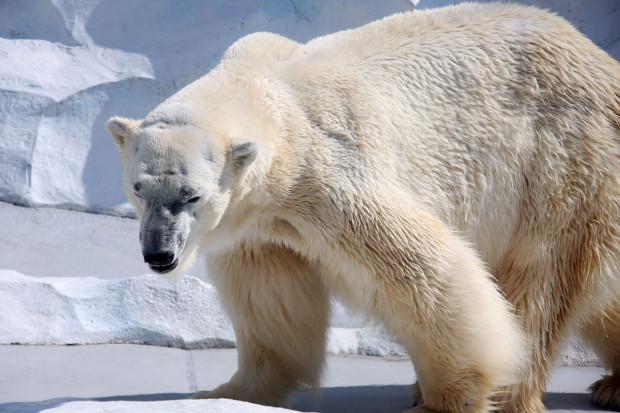 北極熊(白熊)025