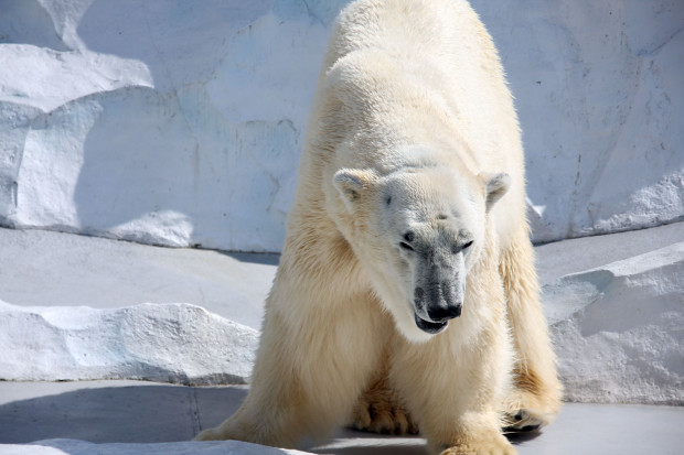 北極熊(白熊)026
