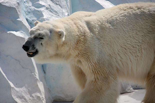 北極熊(白熊)027