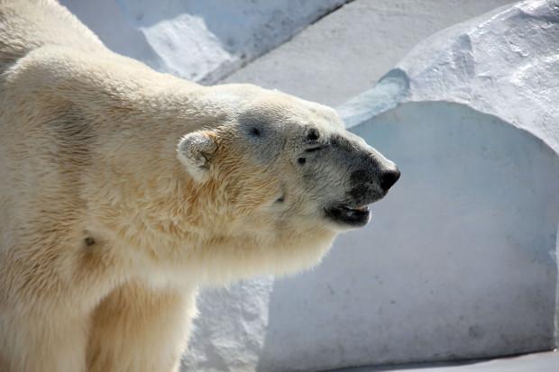 北極熊(白熊)030