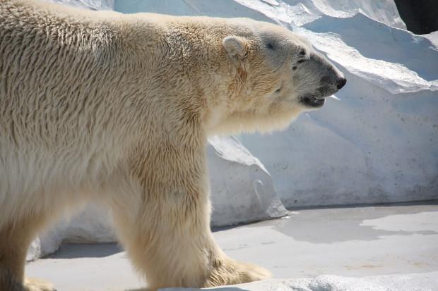 北極熊(白熊)031
