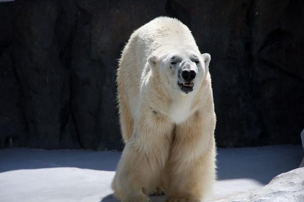 北極熊(白熊)032