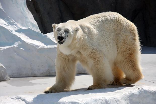 北極熊(白熊)035