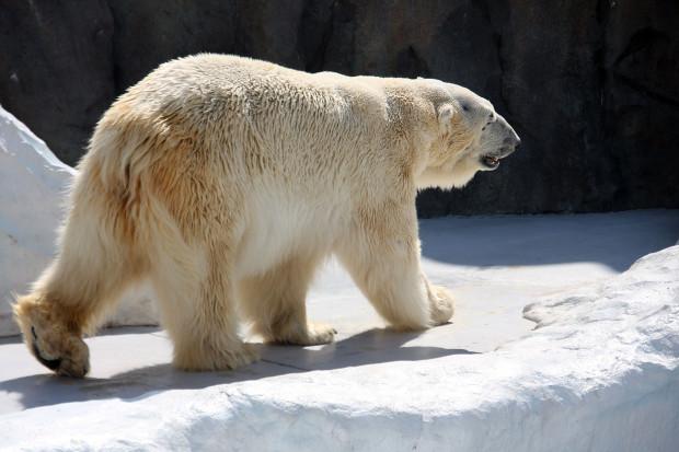 北極熊(白熊)037