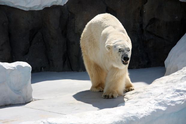 北極熊(白熊)038