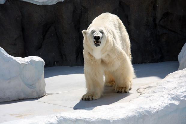 北極熊(白熊)039