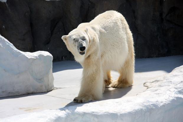 北極熊(白熊)040