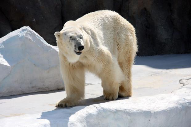 北極熊(白熊)041